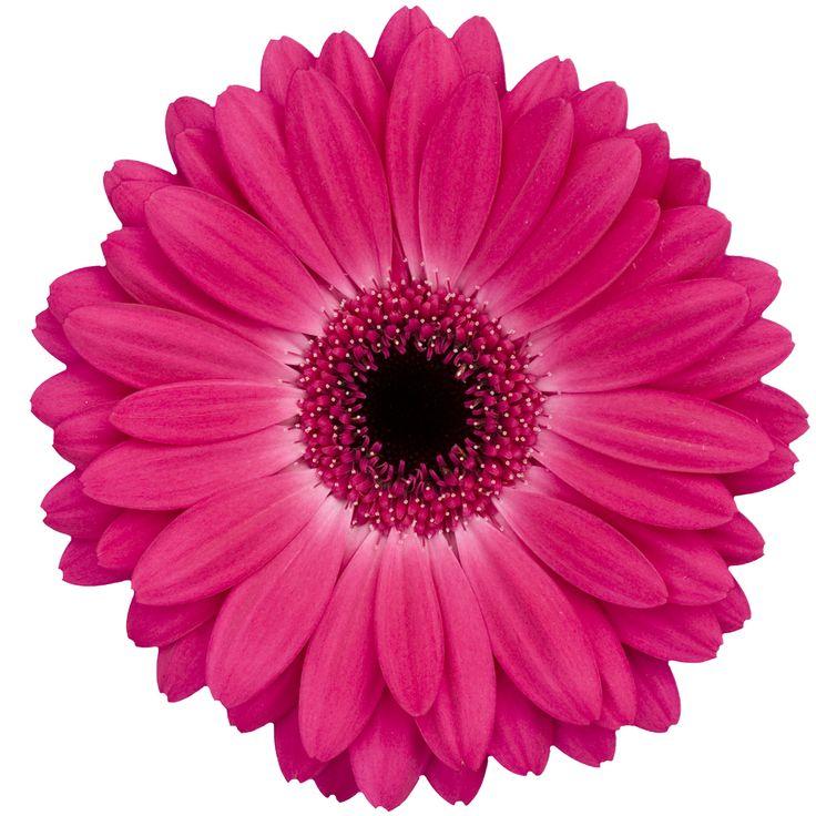 hot-pink-gerbera-daisy.jpg